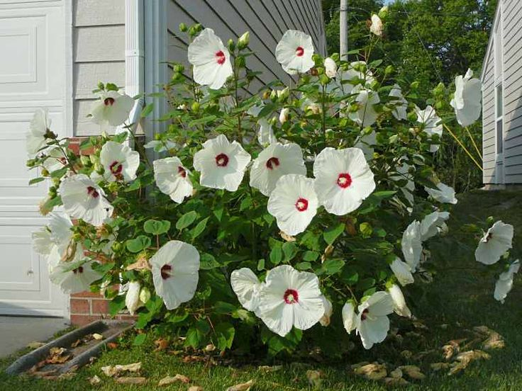 Hibiscus Bush.  I want one of these for my hard. (Thank you Kristen)