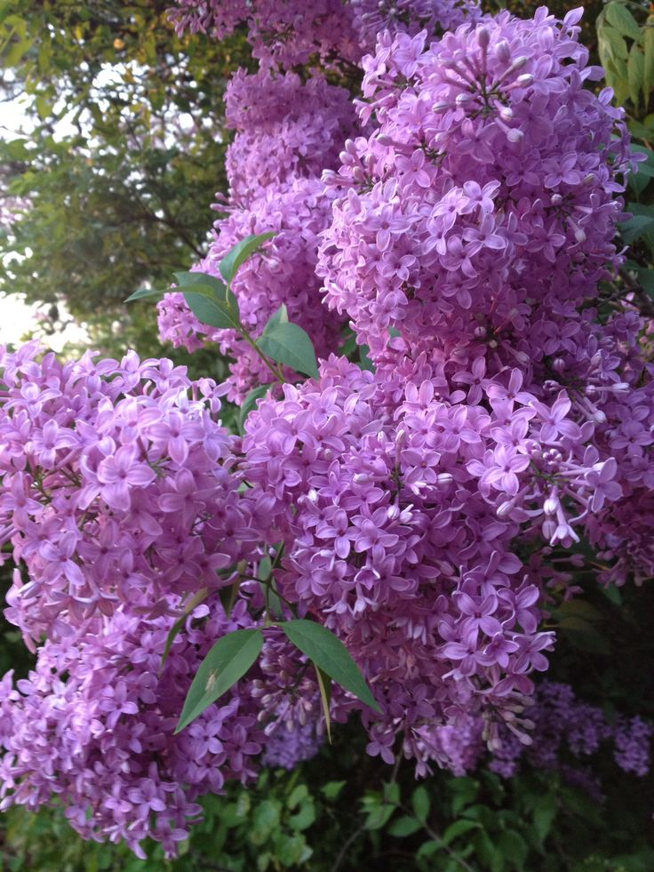 "FLOWERS: Lilacs from the ""Woods"""