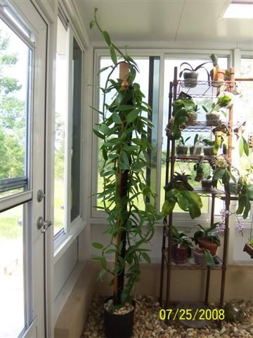 Growing Vanilla Beans Indoors | The Spice Series: Vanilla Coffee, Cacao and Vanilla are beans not nuts. And Vanilla is not even a tree, but while Vanilla is a spice coffee and chocolate fall between the lines so I'm pinning them here and on Herbs and Spices.