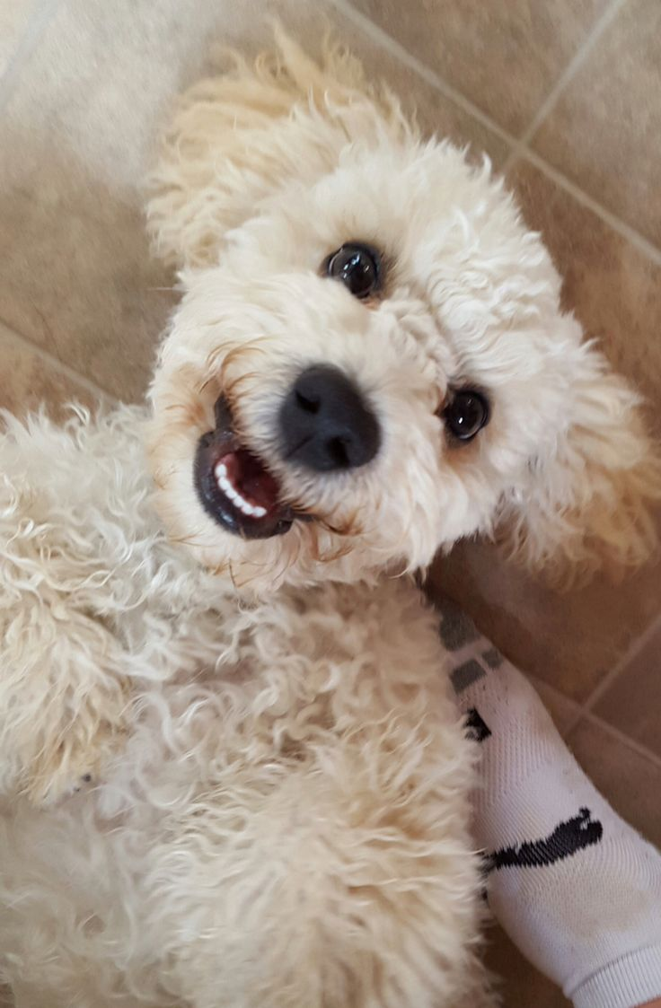 21 Best Cockapoos Images On Pinterest  Cutest Dogs -5191