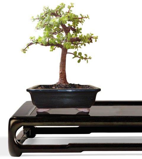 Dwarf Jade Bonsai Tree - Small Bonsai Tree - Portulacaria afra (Web) Buy Bonsai Trees Plants - Buy Bonsai Plants Online RealBonsaiTrees.com or RealPalmTrees.com #Bonsais #DIY2015 #BonsaiTrees #MiamiBonsai #big #2015PlantIdeas #Summer2015Plants #Ideas #BeautifulPlant #DIYPlants #OutdoorLiving #decoratingareasideas