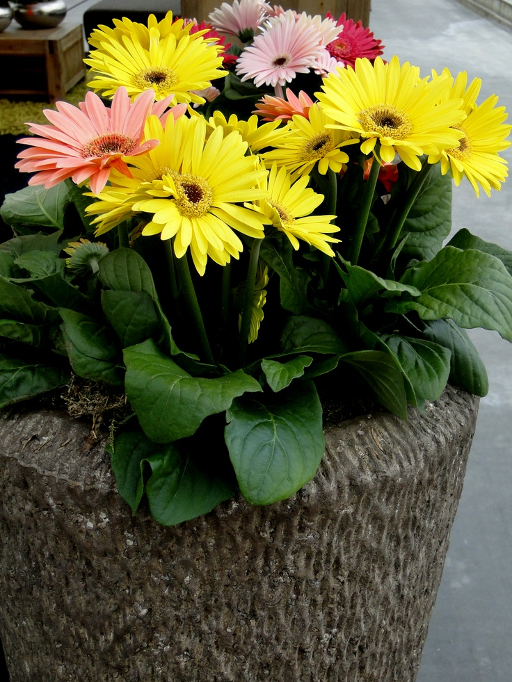 Pot gerbera's  www.combinations.eu