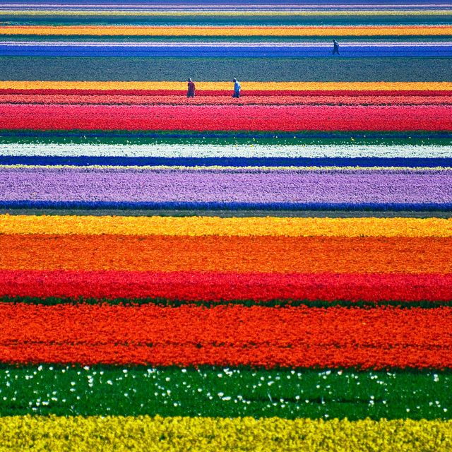 Tulip fields ... Alkmaar, North-Holland, Netherlands. I Love tulips