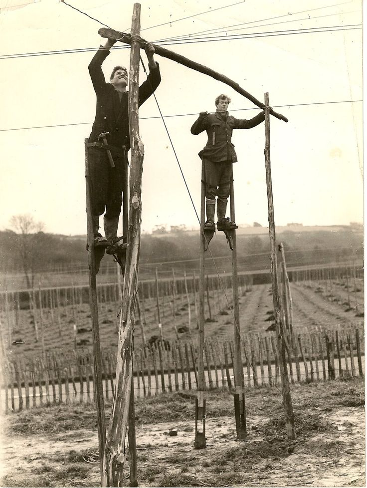 The use of stilts for hop garden maintenance.