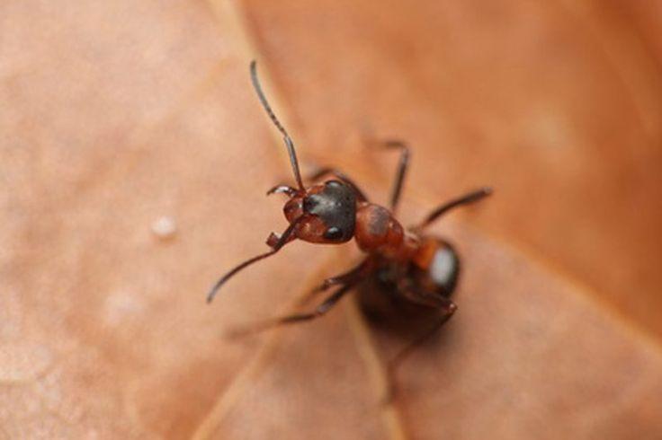 Remedios caseros para las picaduras de hormigas | Muy Fitness