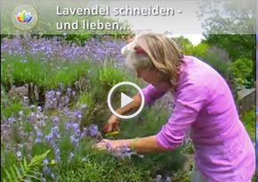 Lavendel schneiden - Ende März, bis zur Hälfte, alte verholzte Triebe ausschneiden