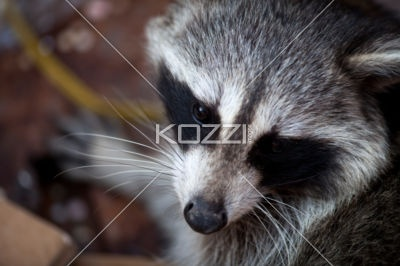 raccoon up close - A close up on the face of a raccoon: The Face