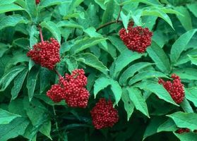 When Are Elderberries Ripe? thumbnail