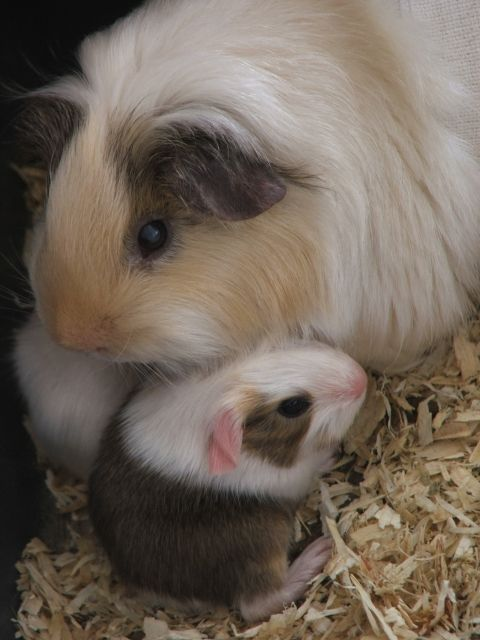 Maman cochon d'inde et ses petits