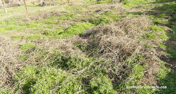 Las parras aportan materia orgánica al suelo.