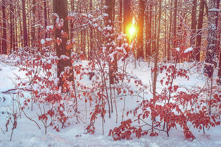 Sunset In Winter Forest Photograph by Jenny Rainbow