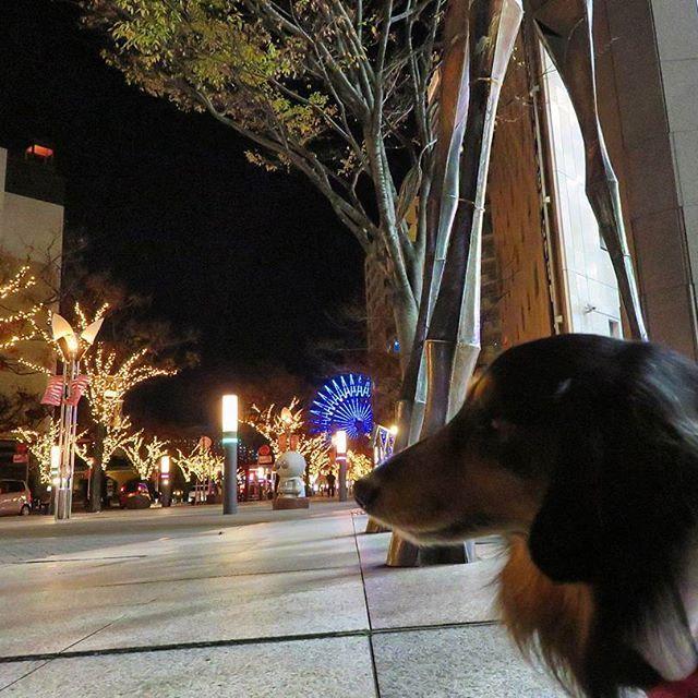 ルミナリエに向かわれて、おーちゃんと歩いた時間帯は、静かなガス燈通りでしたね🎄✨おーちゃんの後ろは、キリンさん(蒼天の塔)の長い脚です#おーちゃんです(´▽`)#dog#miniaturedachshund #KOBEHARBORLAND#kobe_port#how_lovely#ferris_wheel#illumination#神戸#神戸ハーバーランド#神戸港#夜景#観覧車#ガス燈通り#蒼天の塔#キリンさん#ミニチュアダックス#ブラックタン#愛犬#ペット#わんこ#可愛い