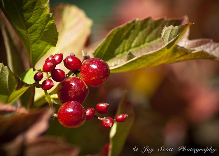 Turning Leaves Reveal Berries by Jay Scott, via 500px