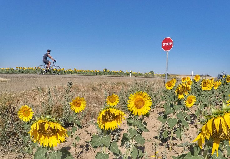 Sunflower fields along the Camino de Santiago - Way of Saint James.  Guided bike tour.