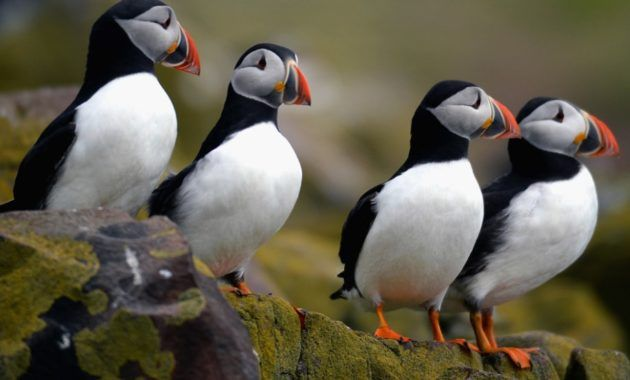 10 Fabulous Animals That Start With The Letter P Puffins Bird Farne Islands Puffin