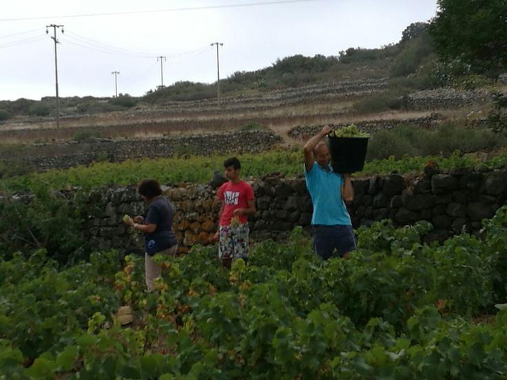 Vendemmia #pantelleria