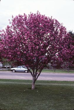 crabapple - front yard? - approved by our city for below-power-line trees (dumb power lines)