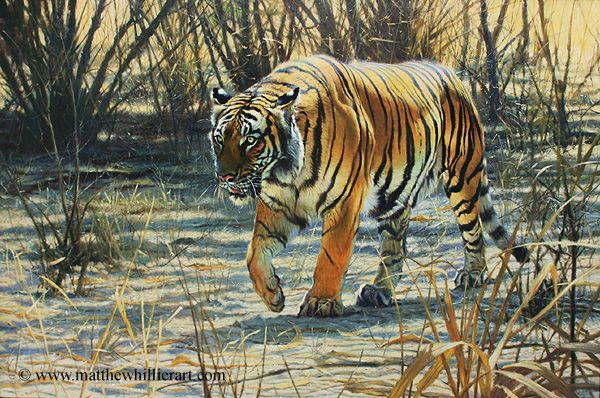 Tiger painting by Matthew Hillier - Wildlife & Landscape Artist - Wildlife Gallery