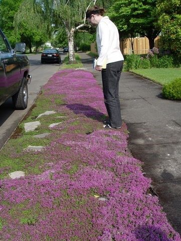Red Creeping Thyme. Grows 3 inches tall max so very neat--no mowing needed ever. Beautiful fresh lemony scent. gorgeous with lavender. Perennial; repels mosquitoes; can grow as entire lawn.