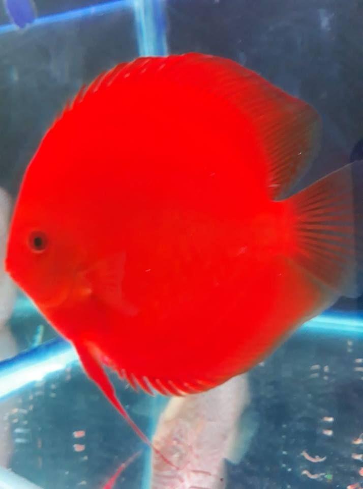 Photo Gallery Of Discus Fish Live Tropical Fish Live Tropical Fish Discus Fish Tropical Freshwater Fish Discus Aquarium