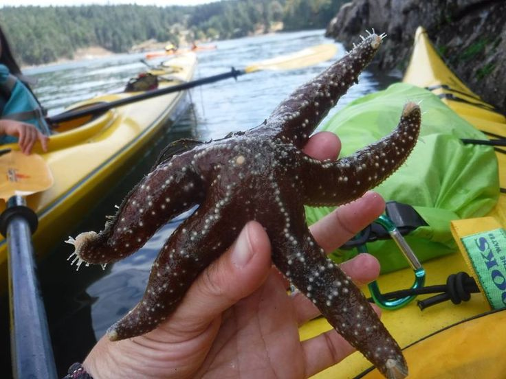 Starfish or sea stars are commonly seen during our kayaking excursions.  Dog Mermaid Eco Excursions & Kayak Rentals & Retreats, Pender Island, BC, Canada