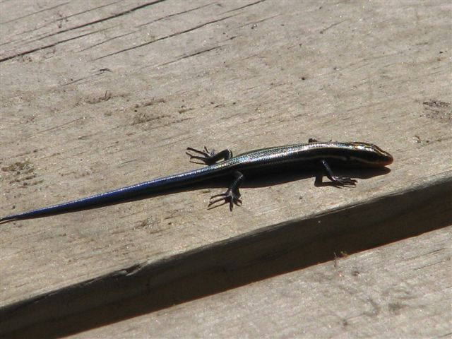 Five-lined skink, Sturgeon Bay Provincial Park