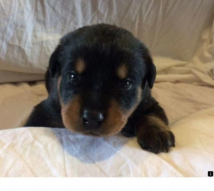Rottweiler Loving Confident And Loyal Rottweiler Puppies For