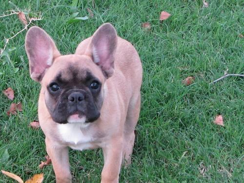French bulldog tan - photo#29