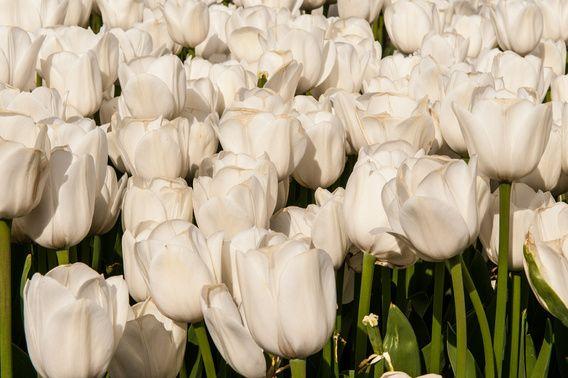 Koop 'Beeldvullend tulpenveld met witte tulpen' van Brian Morgan voor aan de muur.