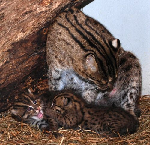 Kitters (Asian Fishing Cats) from ZooBorns!