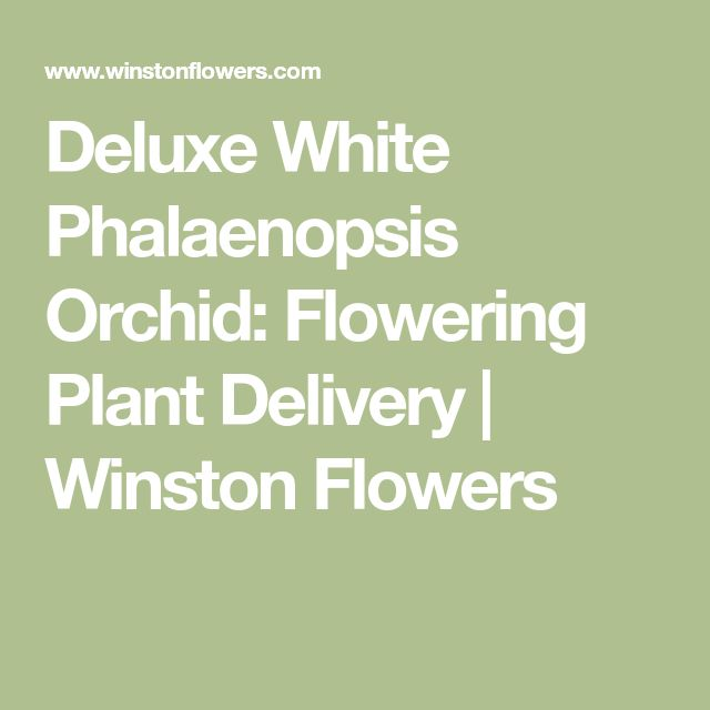 Deluxe White Phalaenopsis Orchid: Flowering Plant Delivery | Winston Flowers