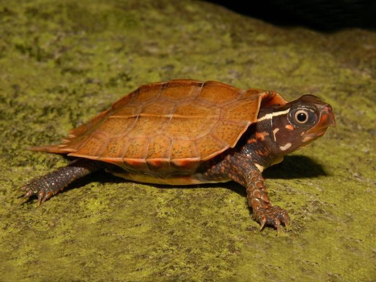 Vietnamese Wood Turtles for sale from The Turtle Source