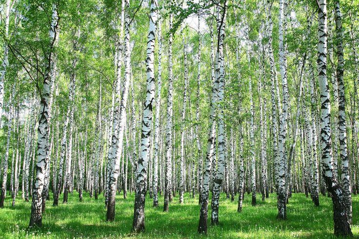 Dieser Birkenwald möchte zum Mitfeiern des internationalen Tag des Waldes einladen. Livingwalls Fototapete «Birkenwald im Sommer» 470640