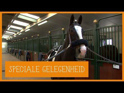 Paard optuigen voor een bruiloft | PaardenpraatTV - YouTube