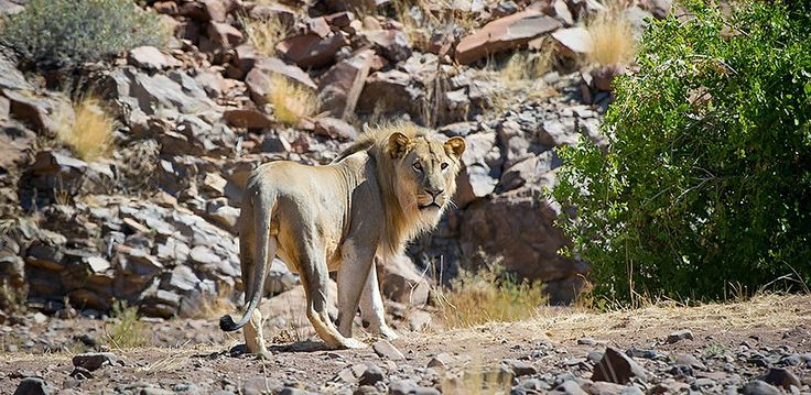 Namibia – Explore Sossusvlei, Etosha, Damaraland, Skeleton Coast | Wilderness Safaris desert-adapted lion