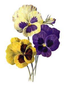 pansy clip art, F Edward Hulme, vintage flower illus, yellow purple flowers, floral printable art