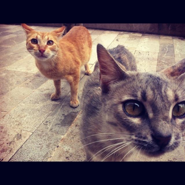 Spanish cats