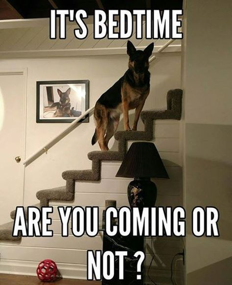 This is definitely my in-laws' lab, Blue. He knows when it is bedtime and will 'ark' and 'bark' until my mother-in-law makes her way upstairs.
