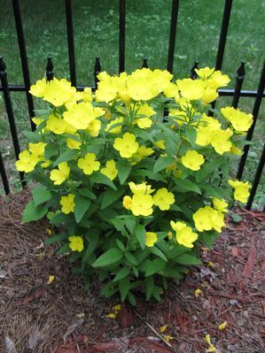 "Evening Primrose Oenothera missouriensis from Growing Colors - Low-growing perennials with cup-shaped flowers that bloom all summer. Plants tolerate hot, dry conditions and prefer well-drained soil. Use near the front of the border or in rock gardens.  Height 9-10"".  Spacing 15-18"""