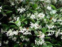 Image of Trachelospermum jasminoides