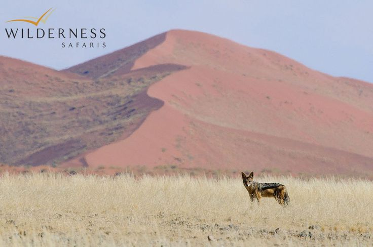 Kulala Desert Lodge - Smaller creatures such as bat-eared fox, black-backed jackal, porcupine, Cape fox and aardwolf can be seen at night in the cool desert air. If you are lucky you could even see them in the day. #Safari #Africa #Namibia #WildernessSafaris