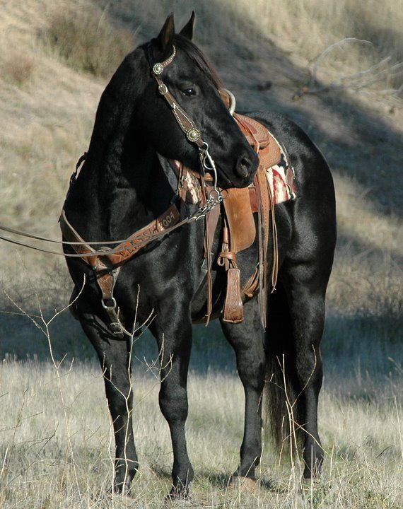 Black, Owned by Shining C Grulla Horses