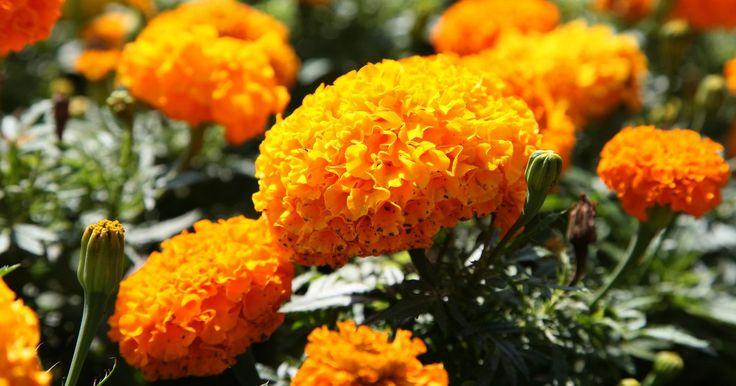 Nomes de flores laranjas e amarelas. As plantas com flores amarelas e laranjas iluminam uma área de jardim ou um quintal. Elas fazem um belo contraste com as gramíneas ornamentais, como a cauda de coelho ou o centeio do mar, mostrando vívidos salpicos de cor ao longo da folhagem. Misture as flores laranjas e amarelas com brancas, tais como a margarida, para realçar as cores.