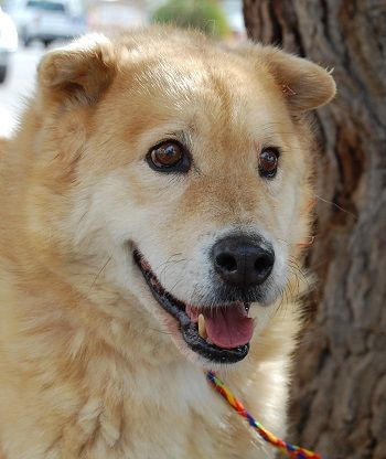Nevada SPCA -Shar-Pei & Retriever mix, 5 years.-Ken He is 1 of 33 animals rescued  from a collapsed animal organization.