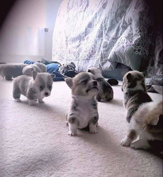 Three week old corgis contemplate life.