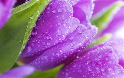 Scarica sfondi primavera, tulipani, viola tulipano, fiori di primavera