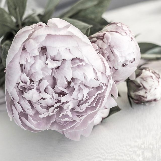 Peony perfection. Photography by Justine Ash