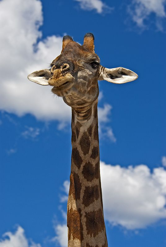 AFRICANature - Giraffe (Giraffa camelopardalis), Etosha National Park, Namibia, Africa  © Konstantinos Arvanitopoulos Photography. All Rights Reserved.