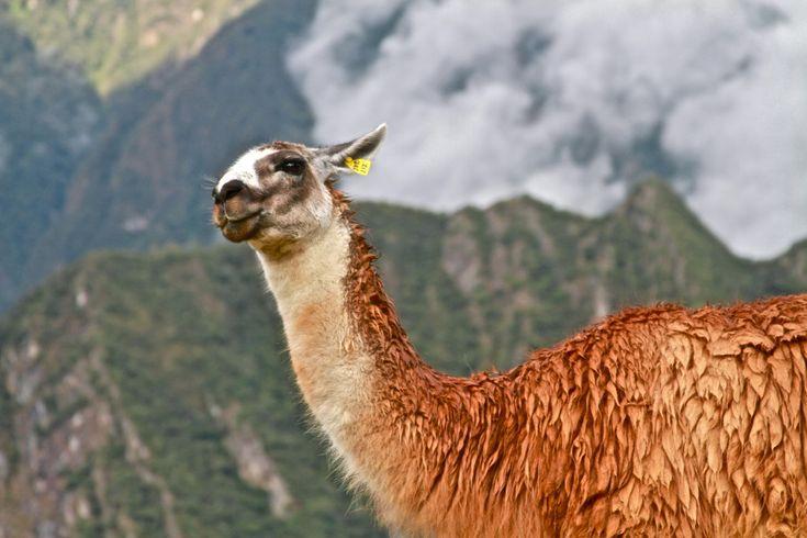 ¡Hola! ¿Qué Tal?, diz a lhama em Machu Picchu. Créditos: Paul Silva / Fonte: Flickr