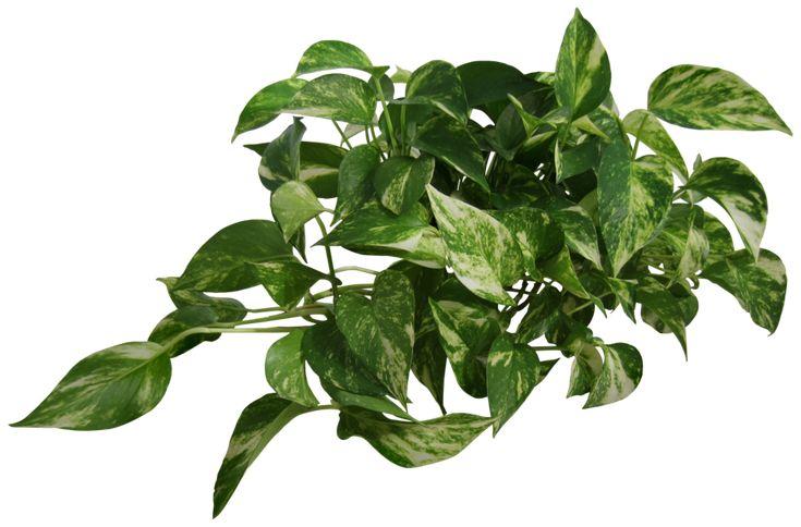 Plant (Epipremnum pinnatum) by Black-B-o-x.deviantart.com on @deviantART